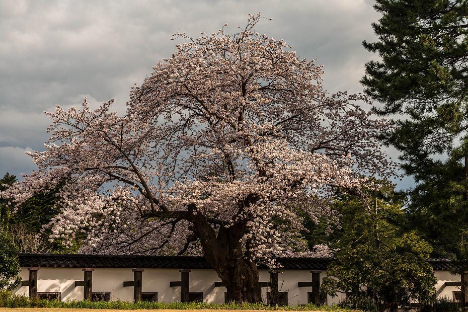 2017.04.08金沢城の桜8