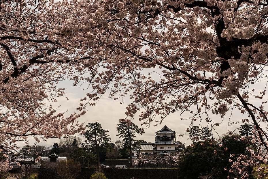 2017.04.08金沢城の桜6