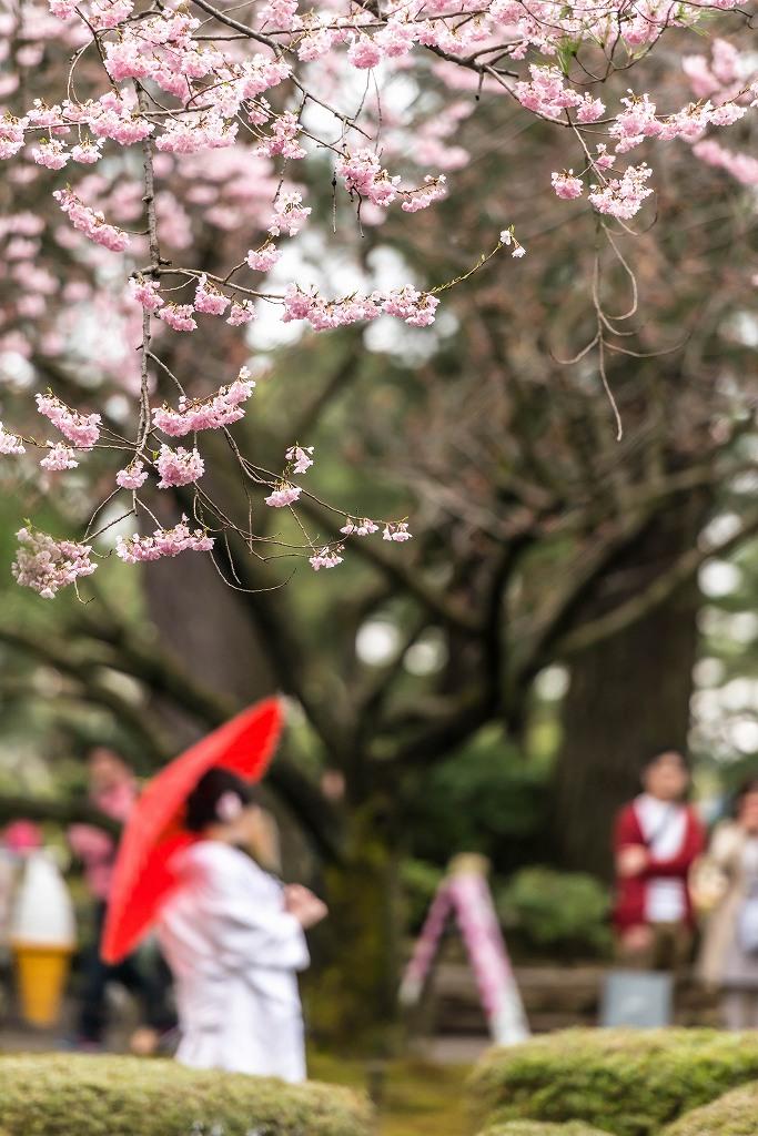 2017.04.09兼六園の桜景色7