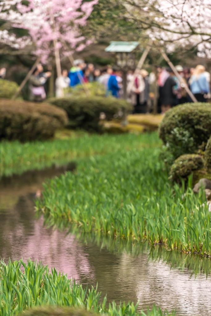 2017.04.09兼六園の桜景色4