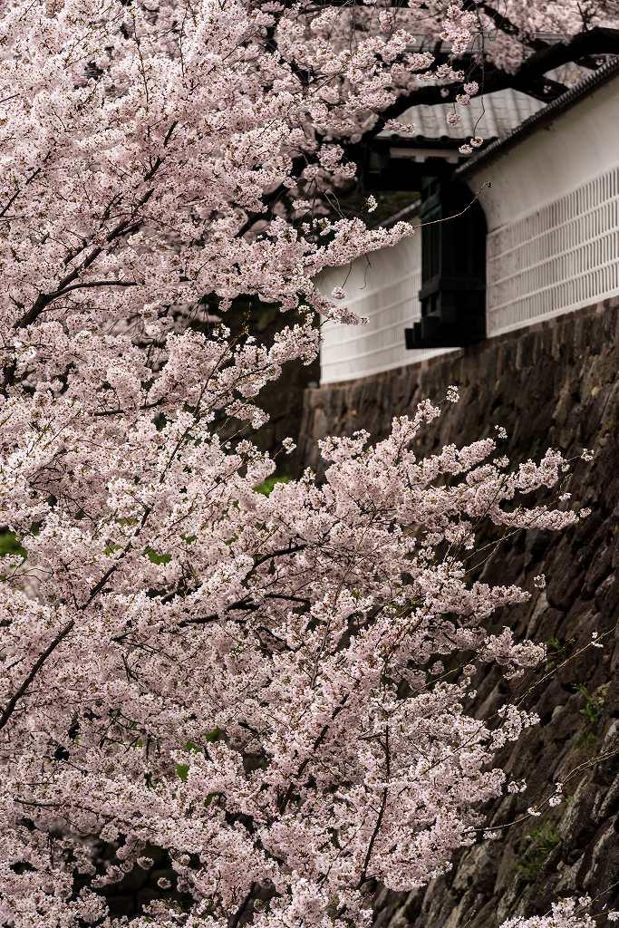 2017.04.09金沢城の桜景色2