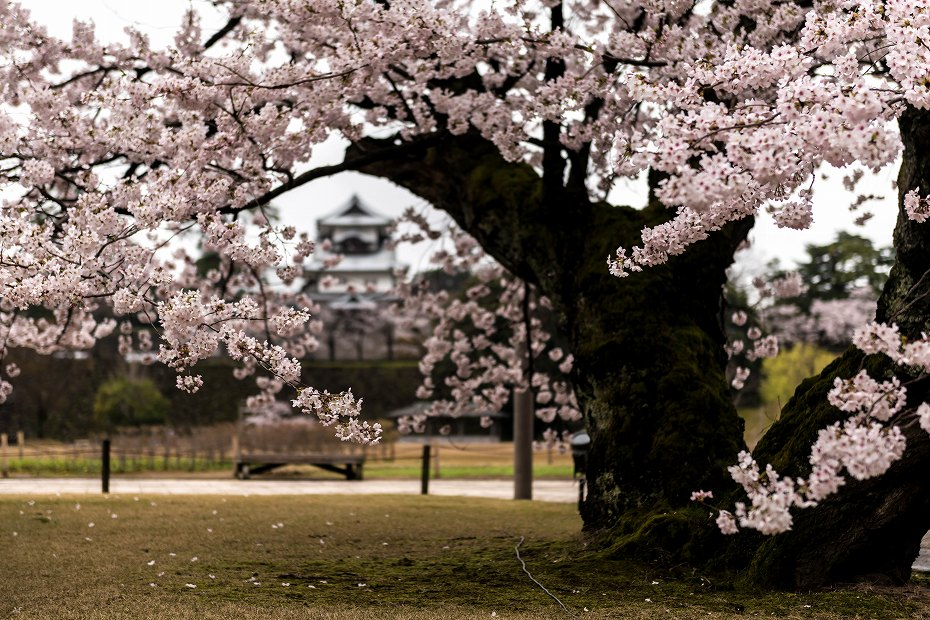 2017.04.09金沢城の桜景色1