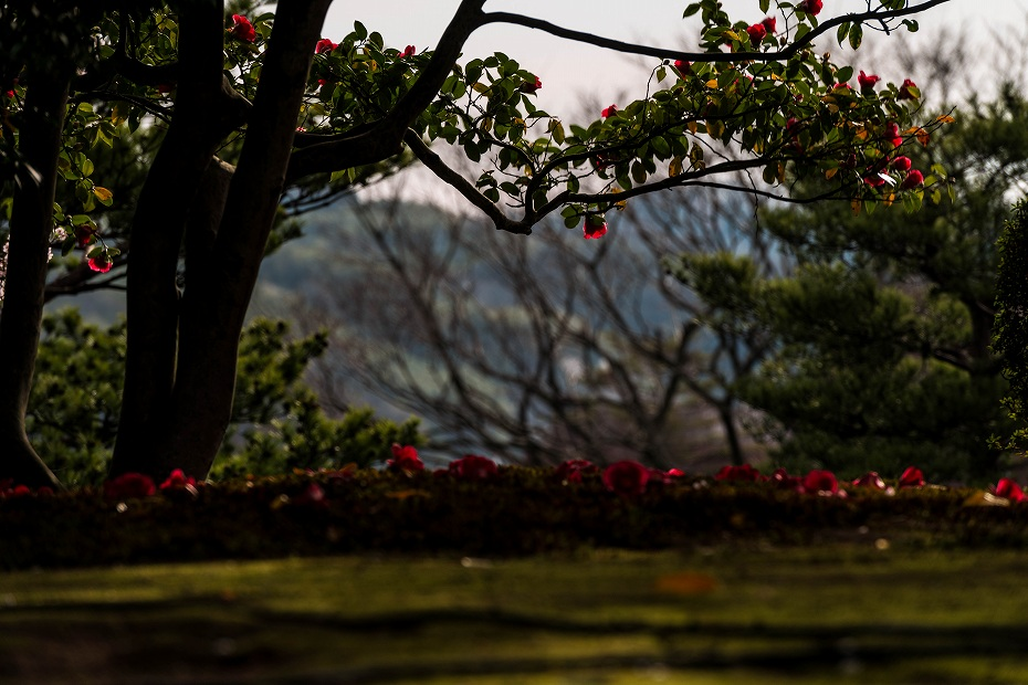 2017.04.10兼六園の椿11