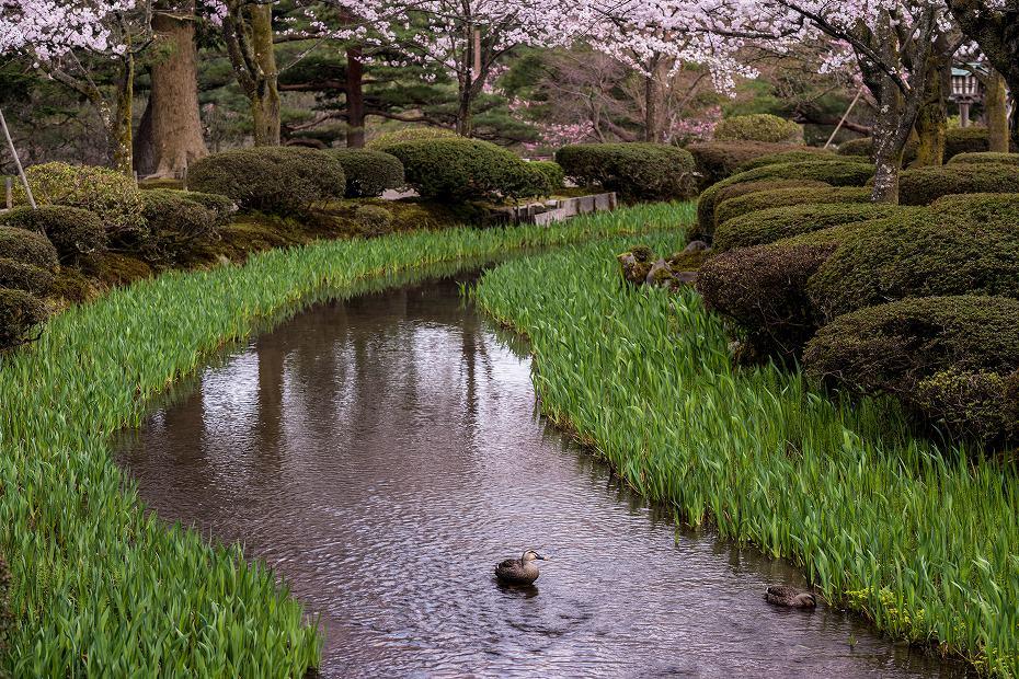 2017.04.10兼六園の桜咲く朝景4