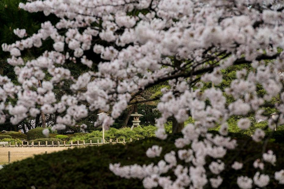 2017.04.10兼六園の桜咲く朝景2