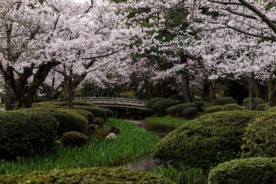 2017.04.10兼六園の桜咲く朝景3