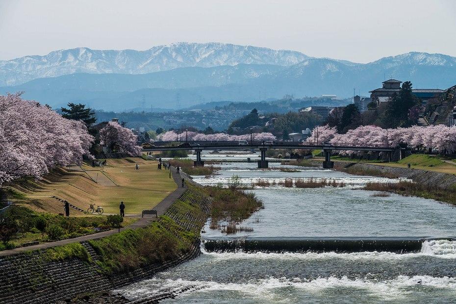 2017.04.10犀川の桜並木4