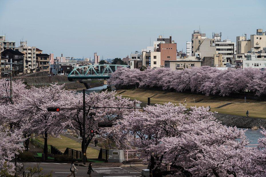 2017.04.10犀川の桜並木1