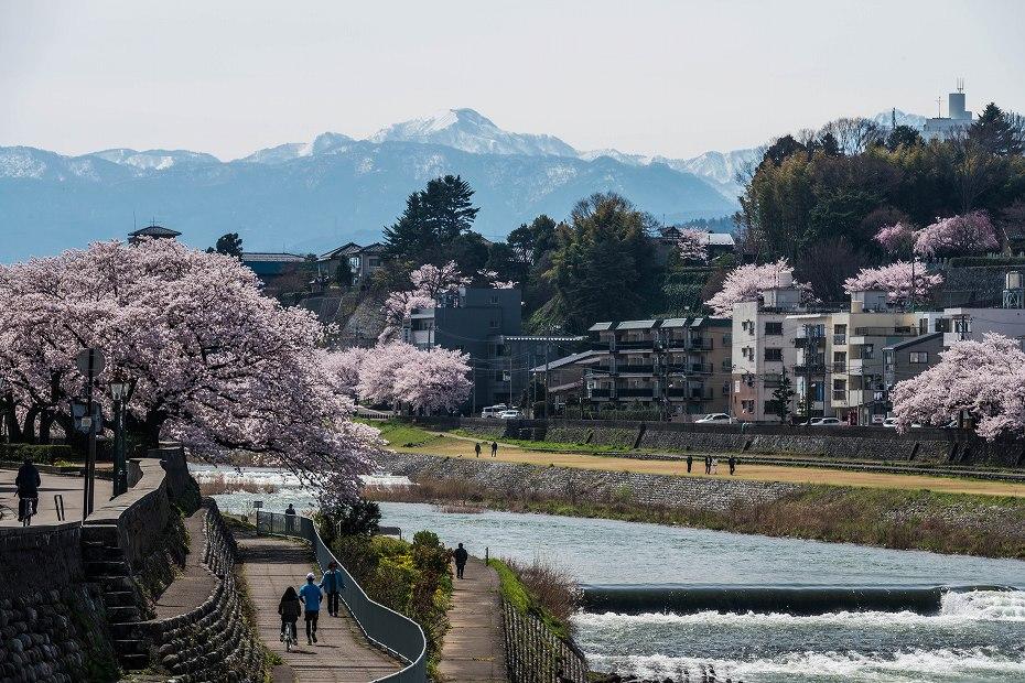 2017.04.10犀川の桜並木3