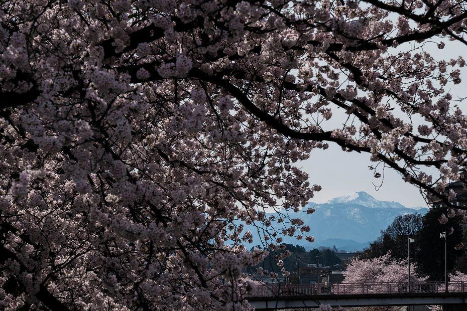 2017.04.10犀川の桜並木2