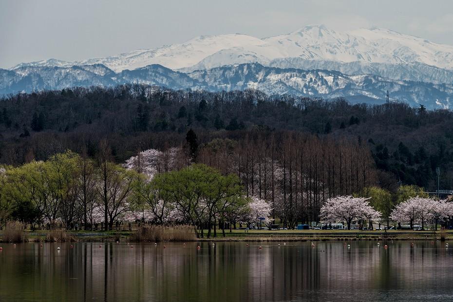 2017.04.10木場潟の桜並木6