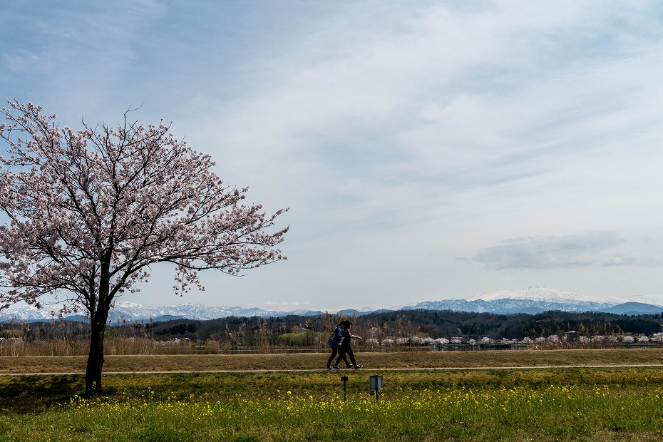 2017.04.10木場潟の桜並木5