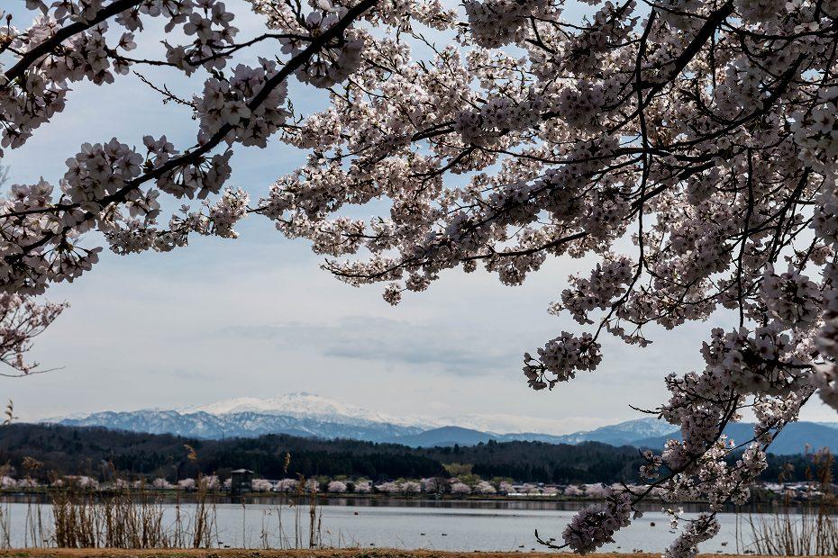 2017.04.10木場潟の桜並木4