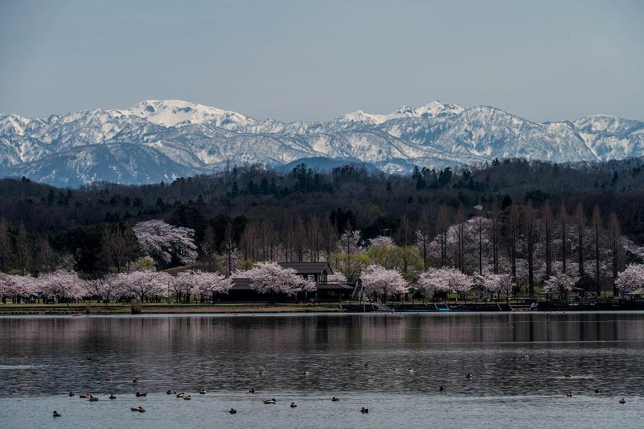 2017.04.10木場潟の桜並木2
