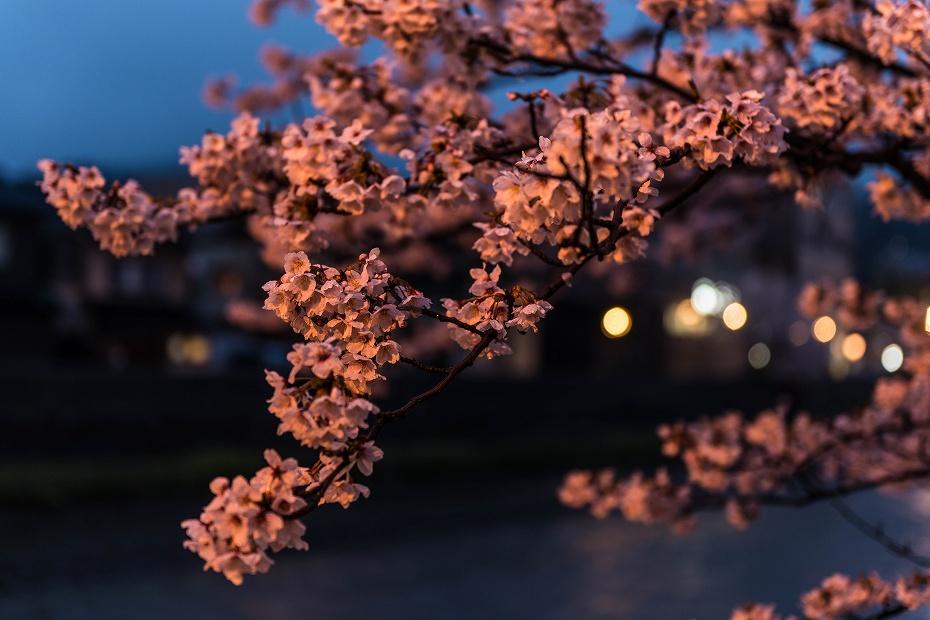 2017.04.11主計町の夕桜7