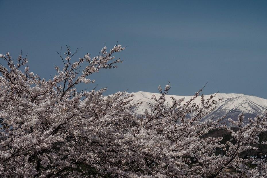 2017.04.14白石城の桜15