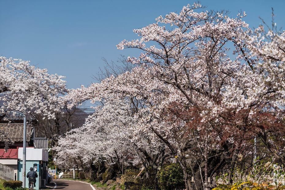 2017.04.14白石城の桜13