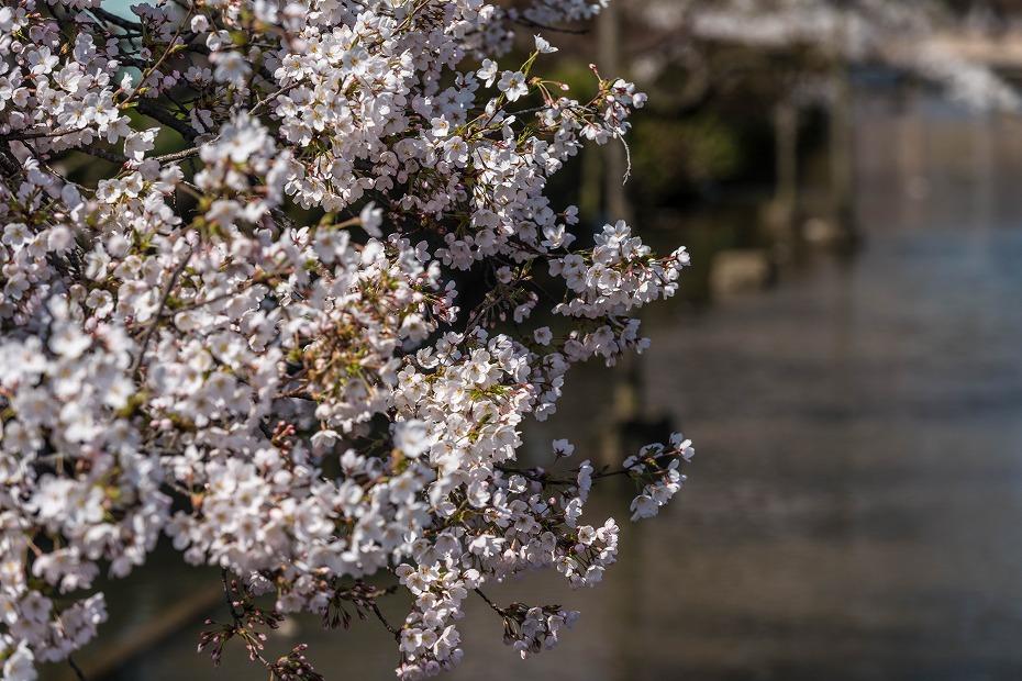2017.04.14白石城の桜11