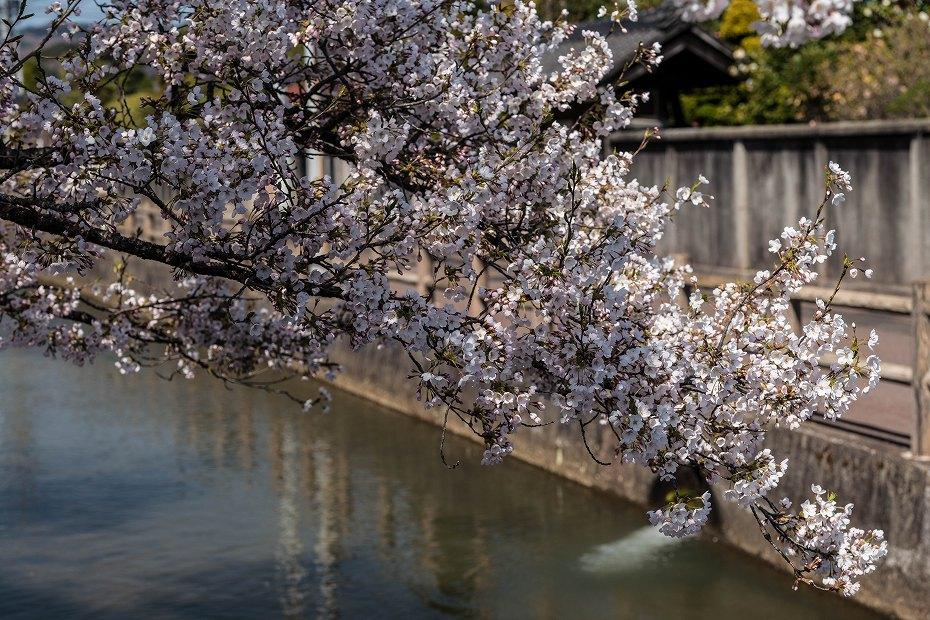2017.04.14白石城の桜12