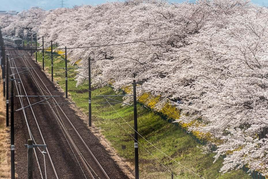 2017.04.14一目千本桜を散策8