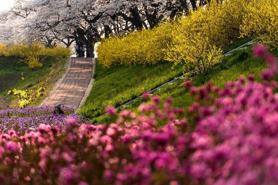 2017.04.14一目千本桜を散策7