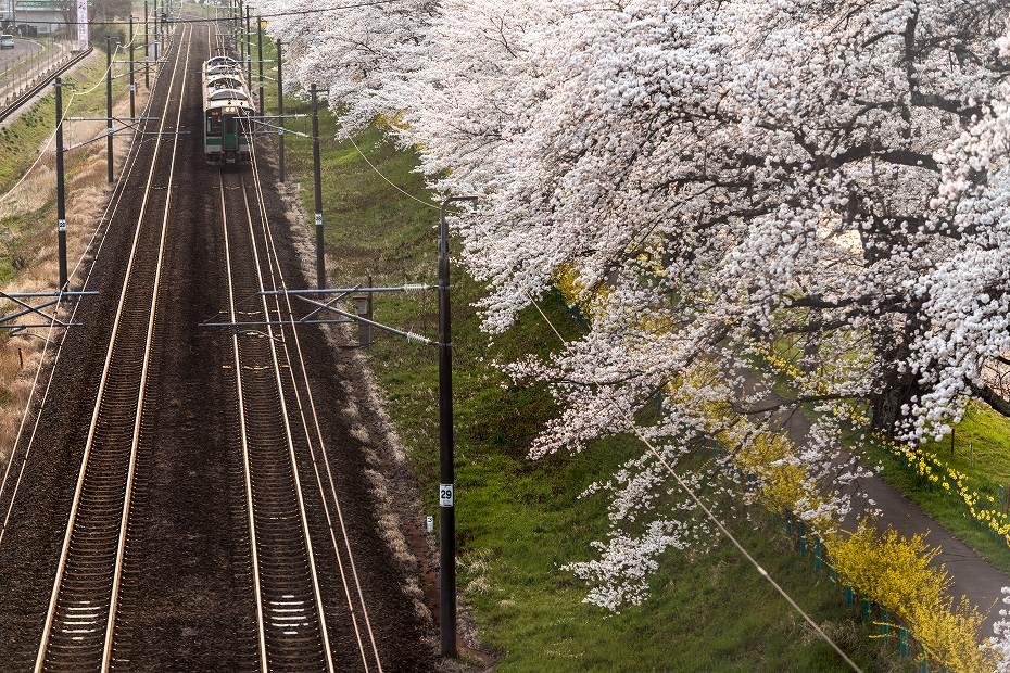2017.04.14一目千本桜を散策9