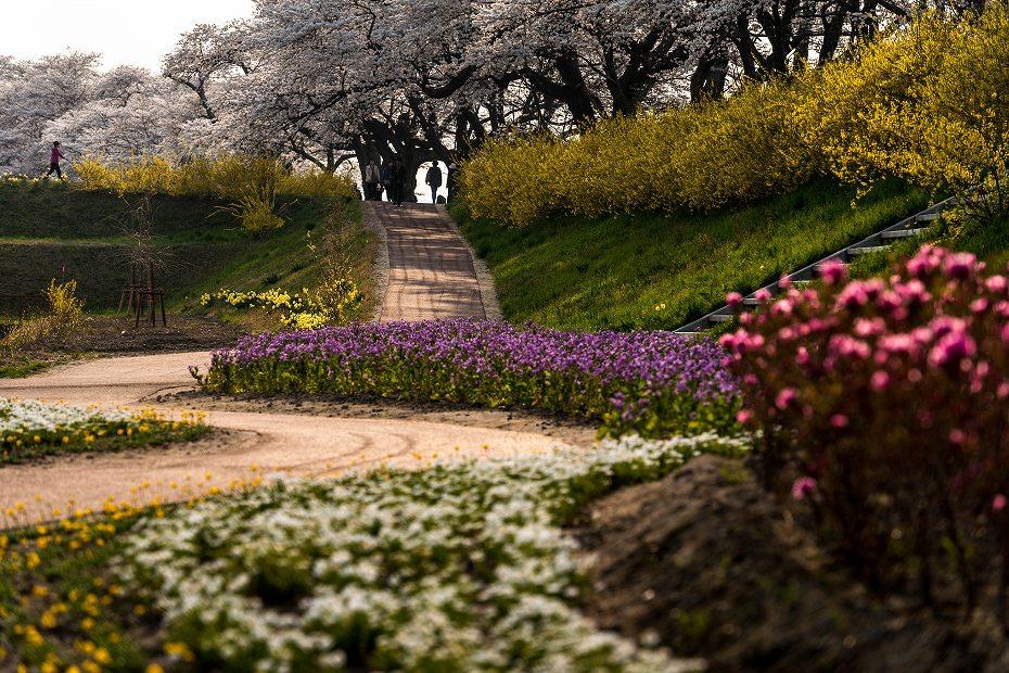 2017.04.14一目千本桜を散策6