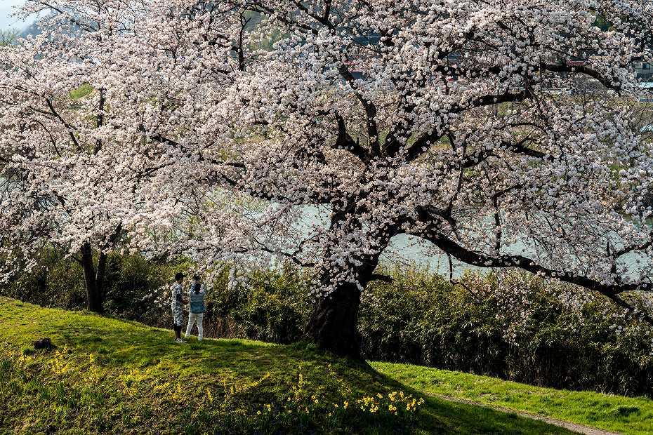 2017.04.14一目千本桜を散策4