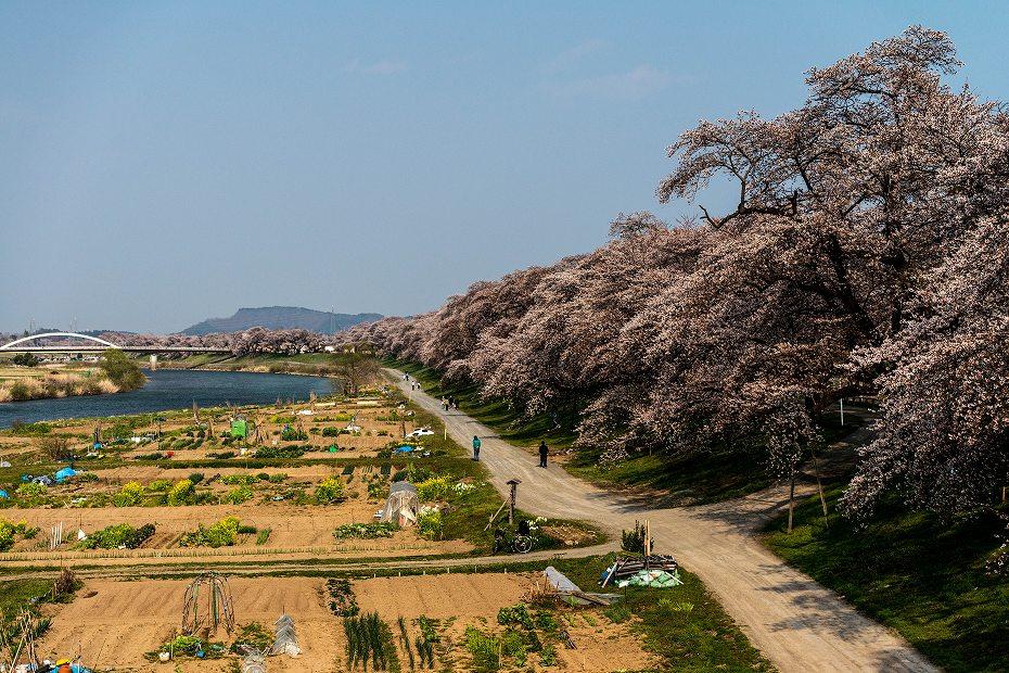 2017.04.14一目千本桜を散策5