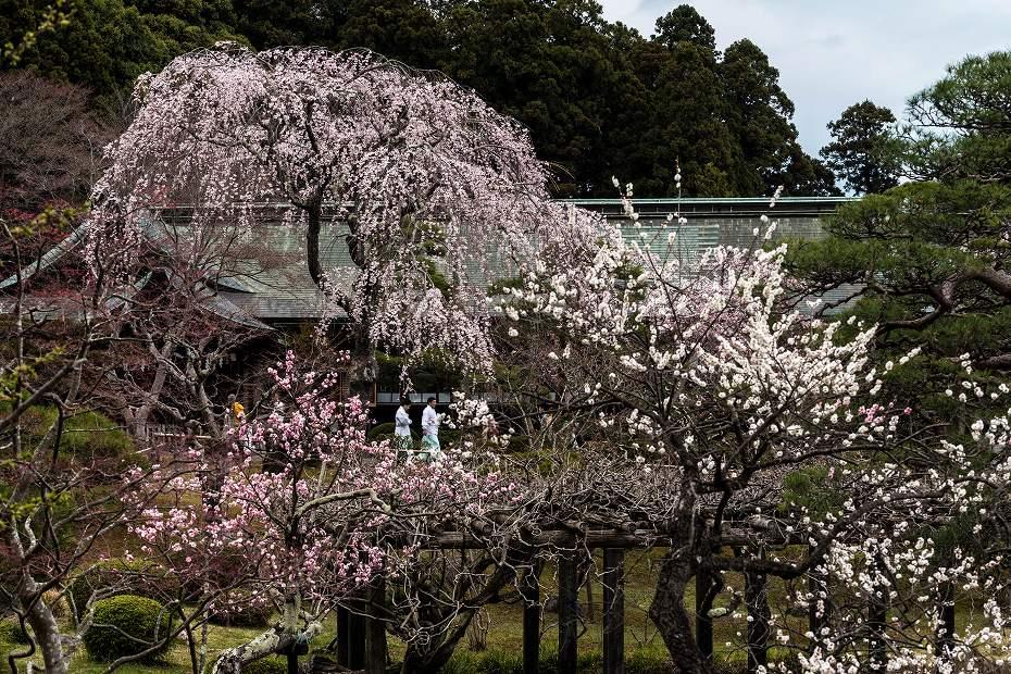 2017.04.15塩竃神社の桜景色3