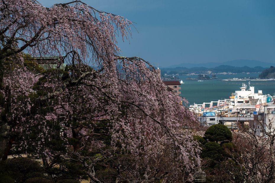 2017.04.15塩竃神社の桜景色1