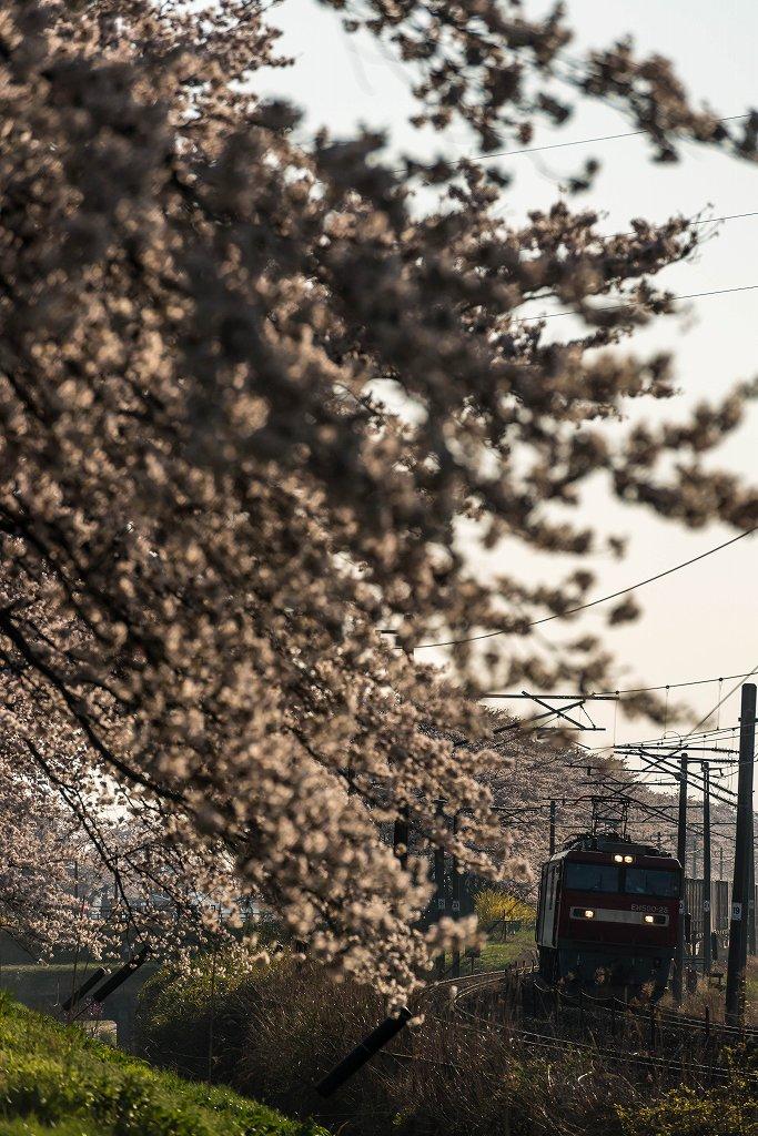 2017.04.16一目千本桜の朝景7