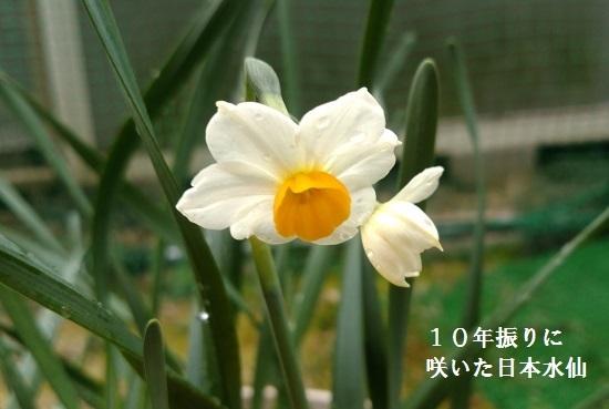 10年振りに咲いた日本水仙
