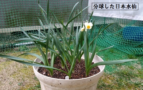 分球後に植え直した日本水仙