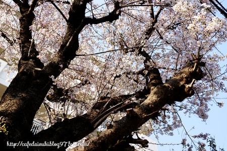 国分寺市の桜2017
