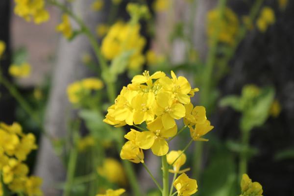 03菜の花