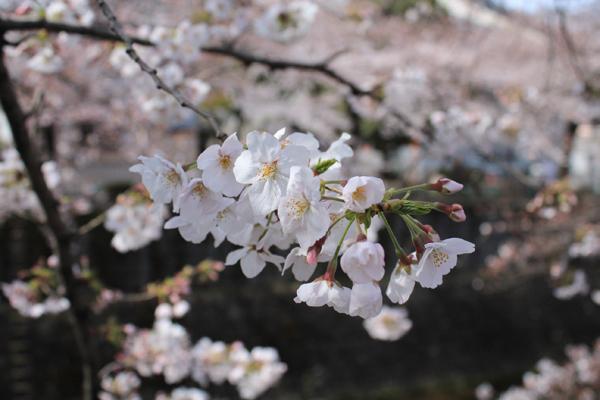 01桜アップ