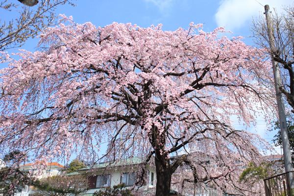09しだれ桜