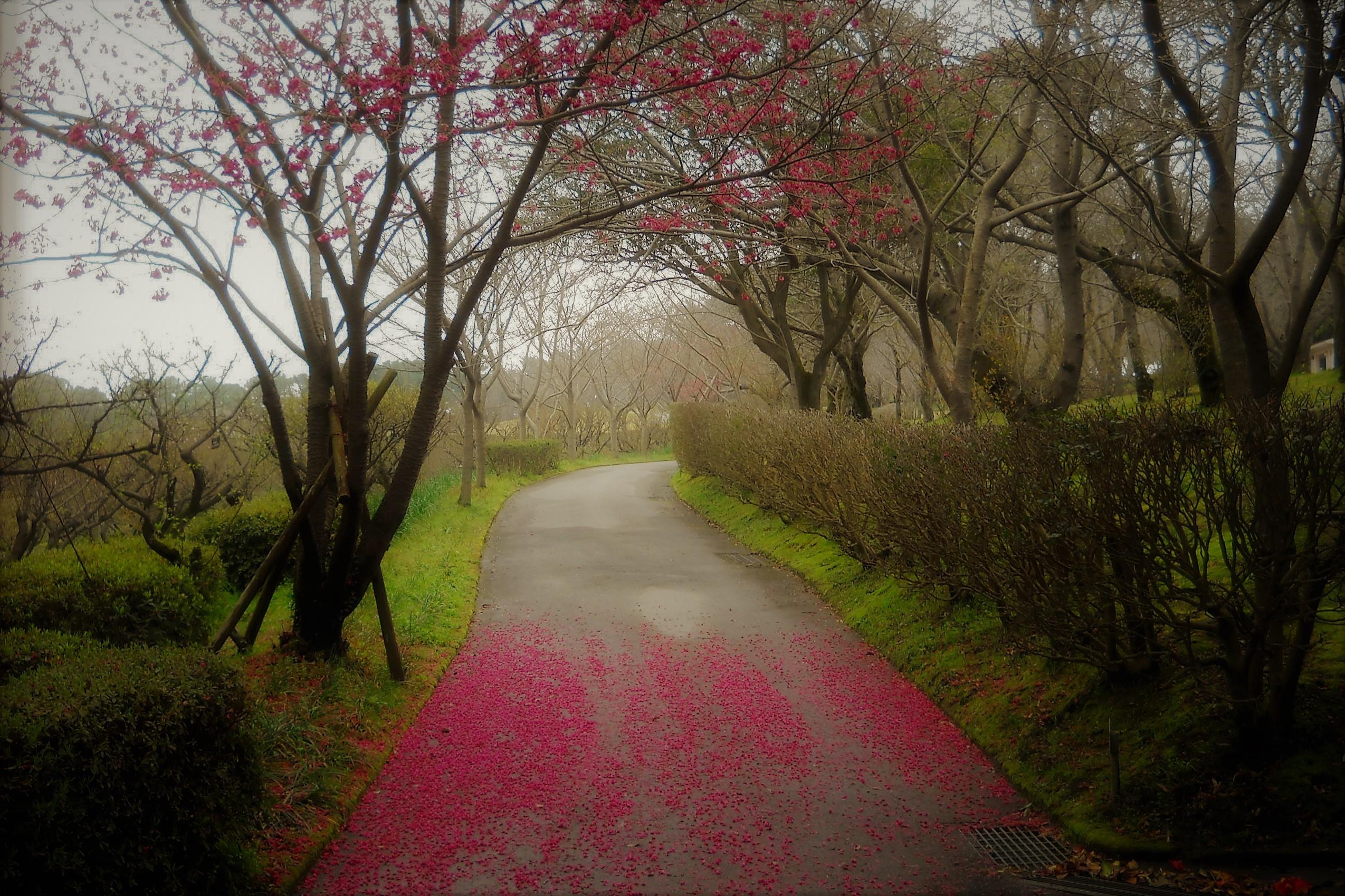 赤い落花の道