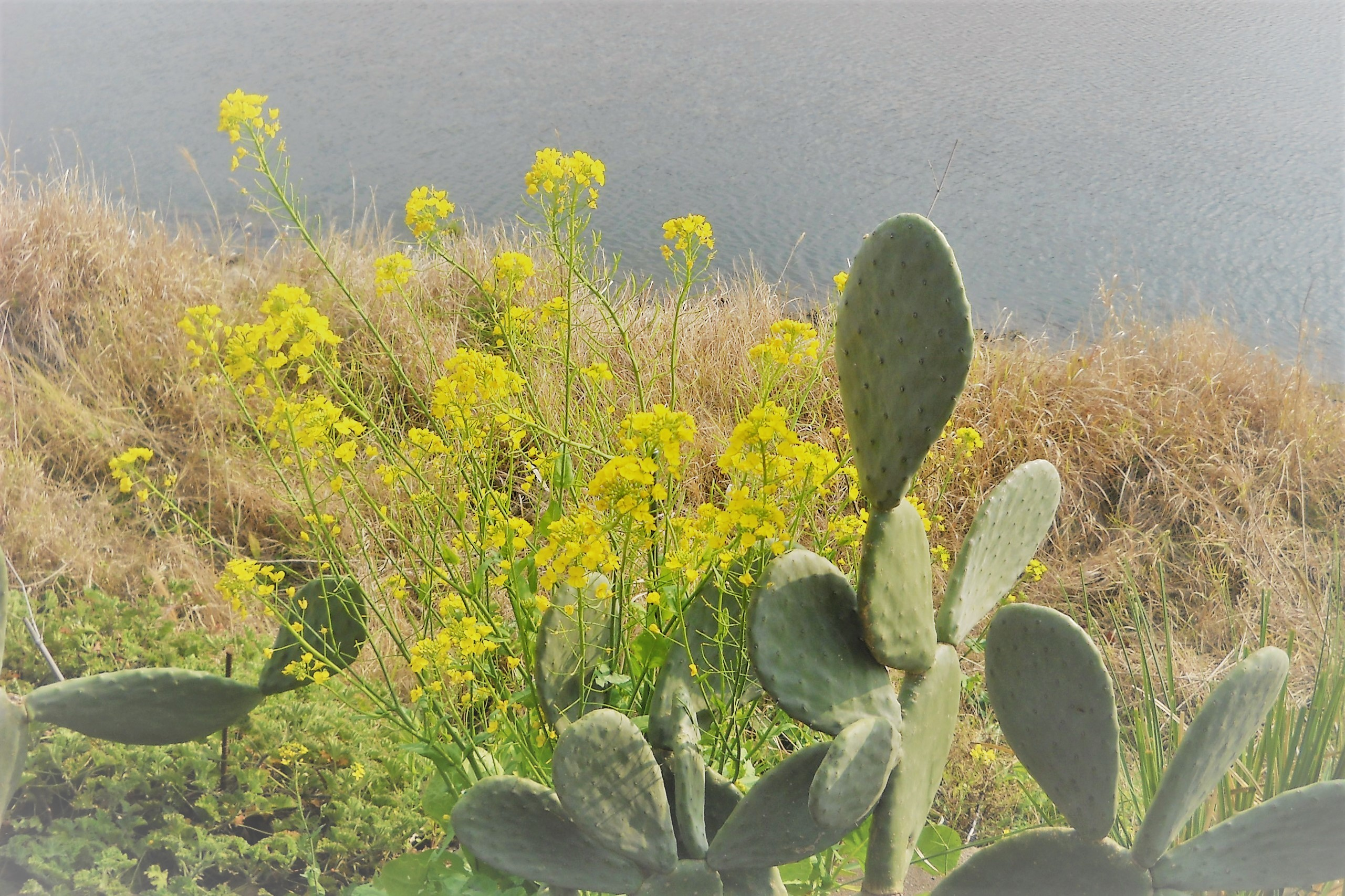 サボテンと菜の花
