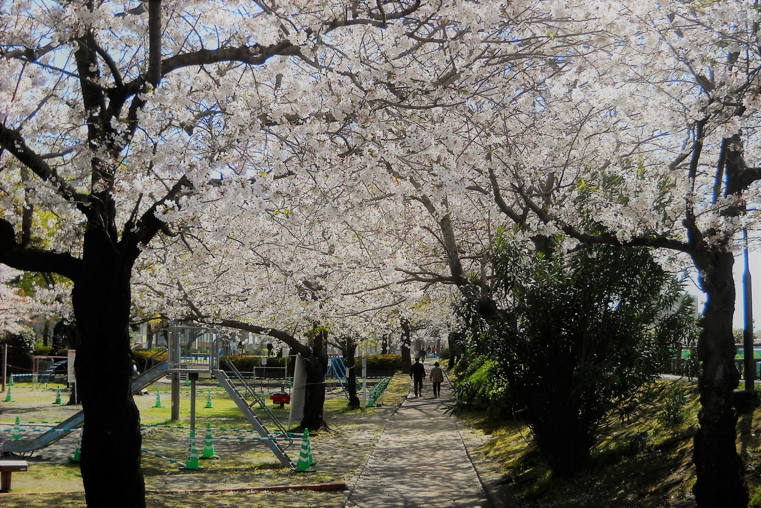 桜 甲突川左岸緑地
