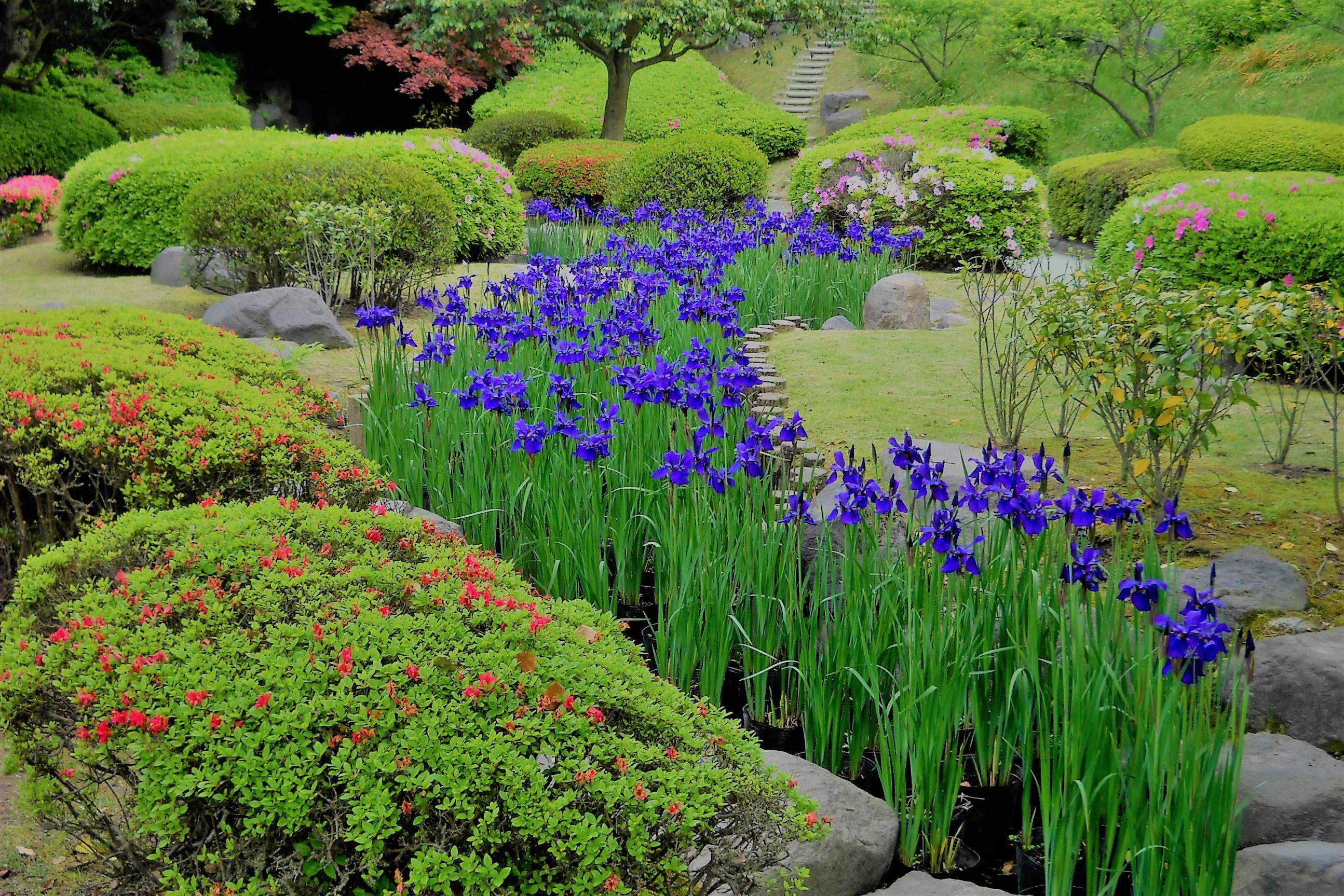アヤメの咲く風景