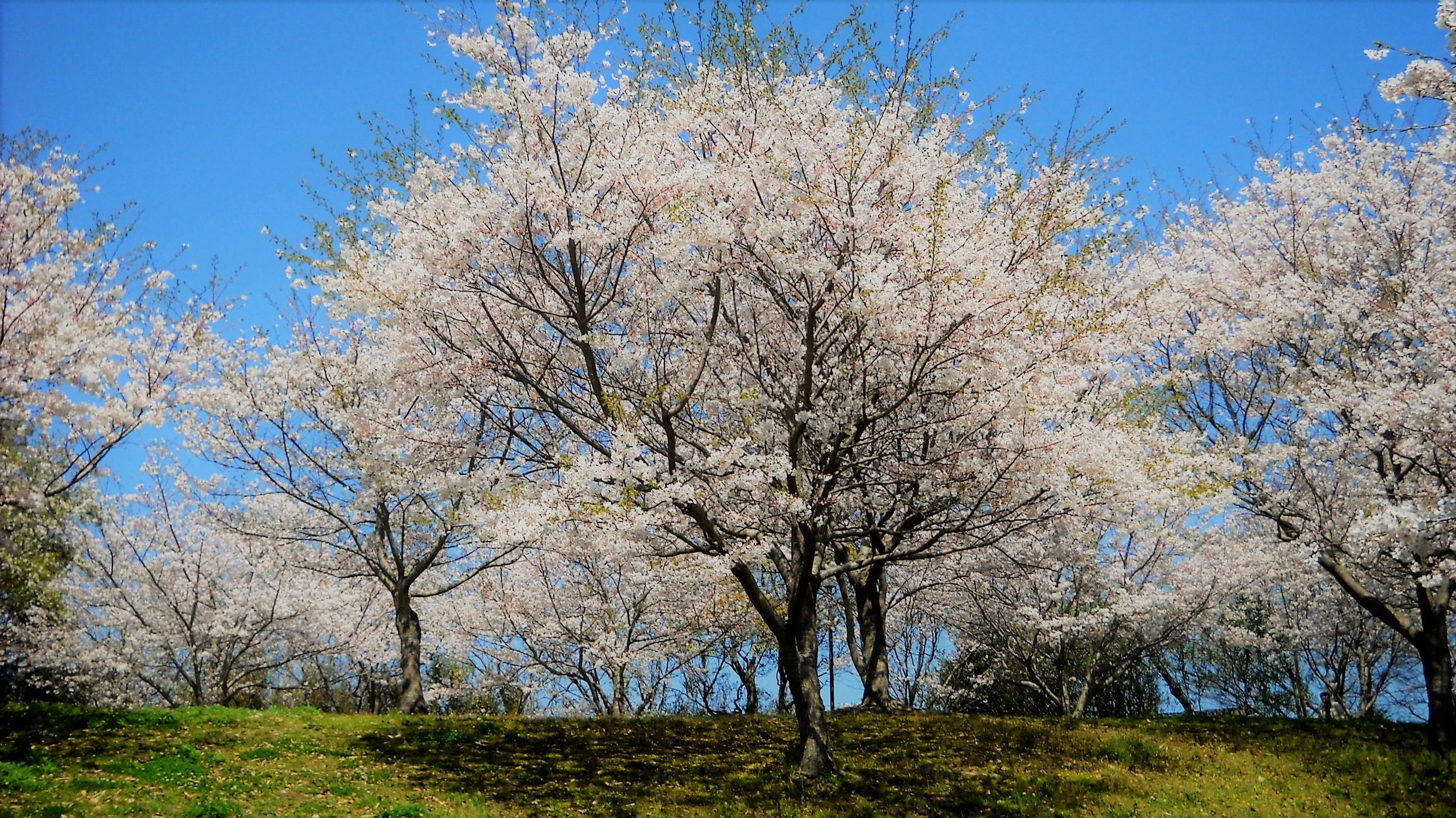 桜 多賀山公園