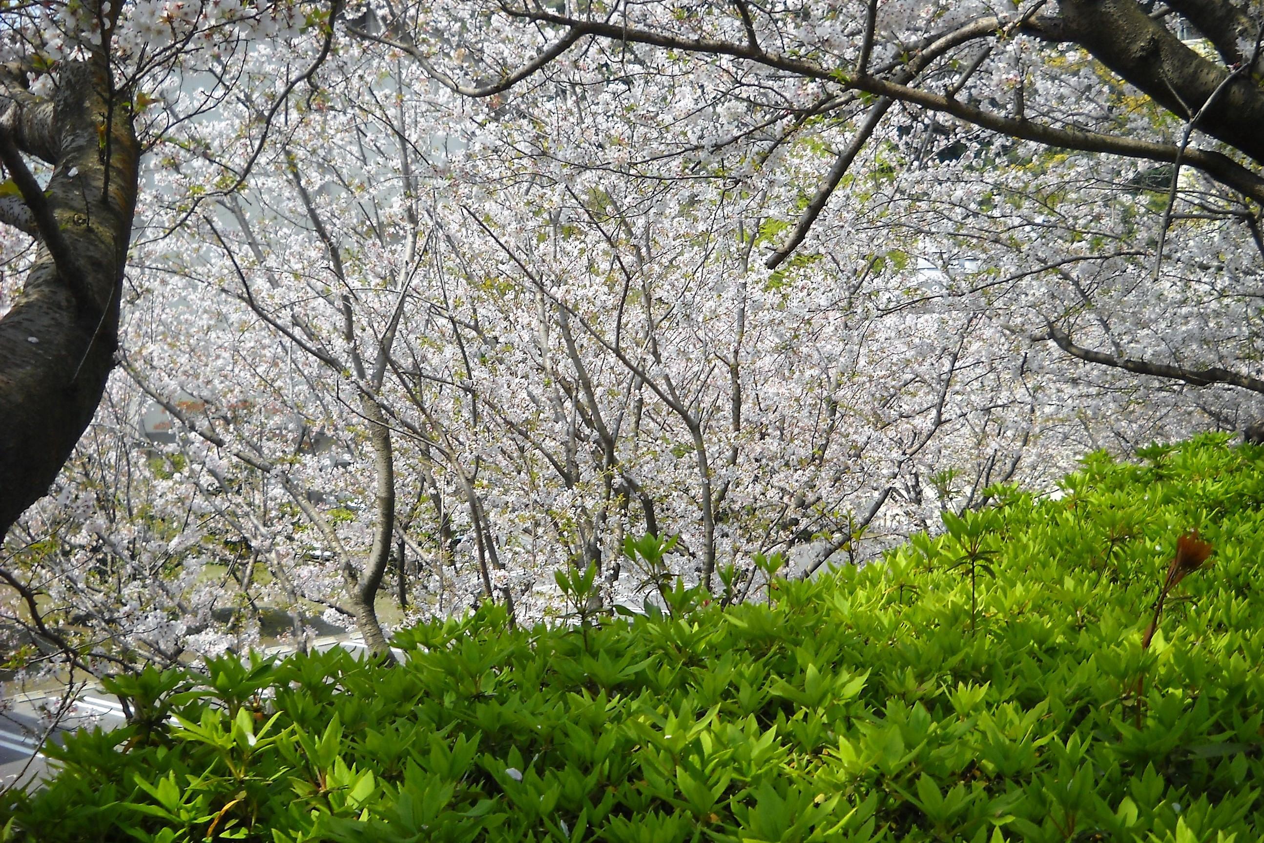 桜とツツジの葉