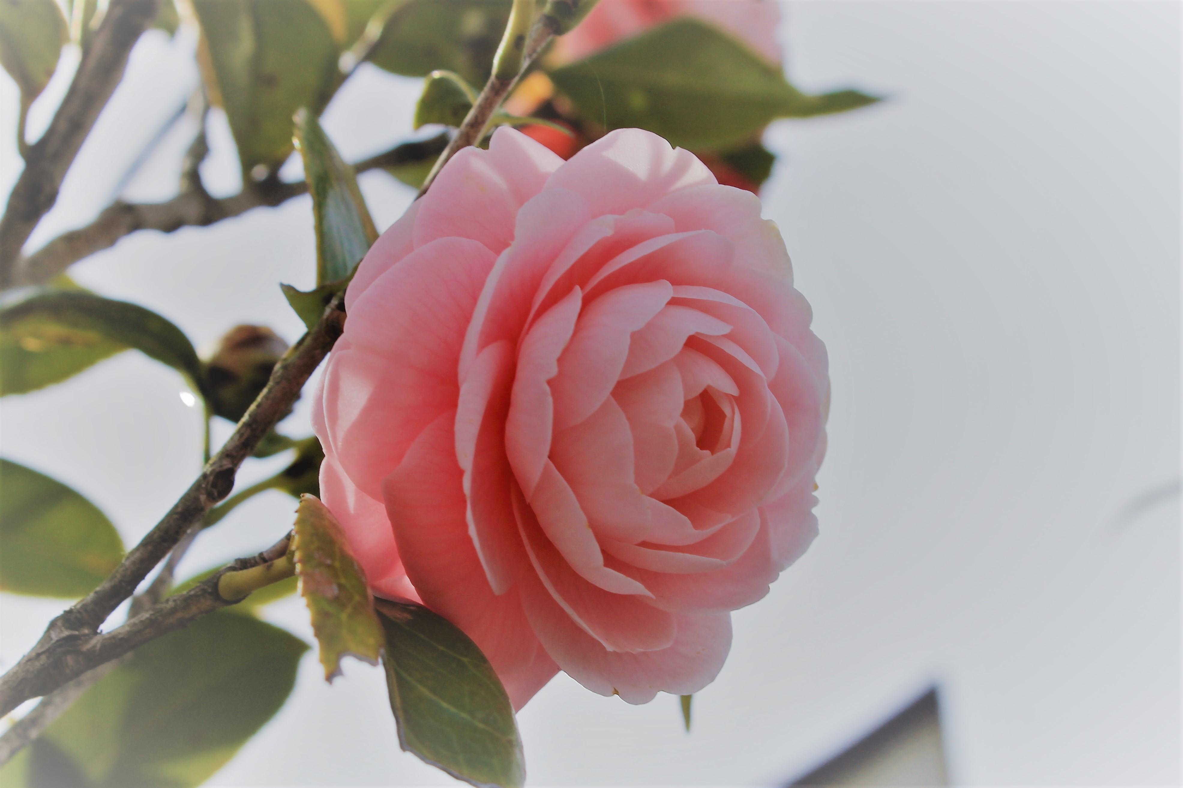 ツバキ ピンク
