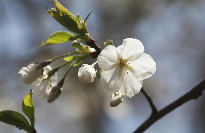 大島桜-152