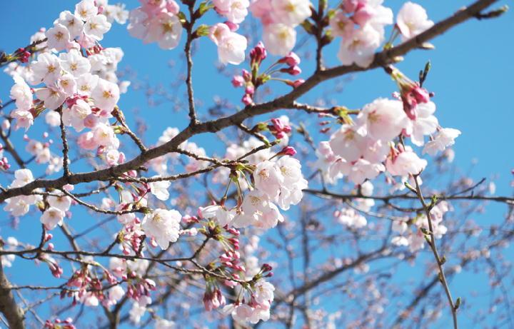 桜-702