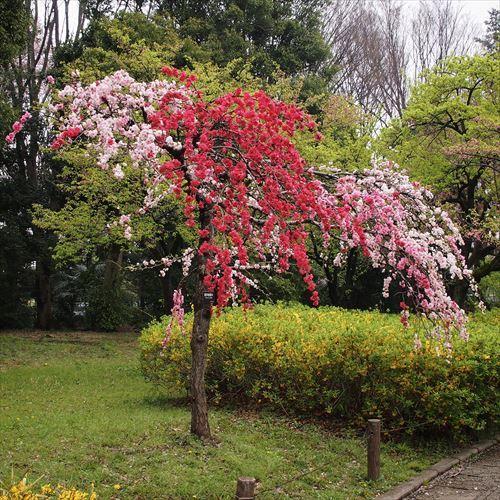ゆうブログケロブログお花見と花まつり (10)