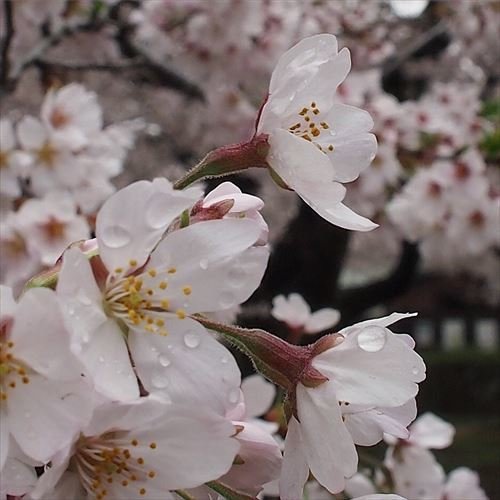 ゆうブログケロブログお花見と花まつり (13)