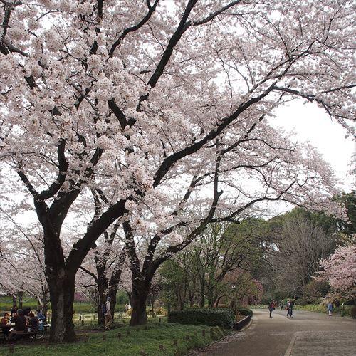ゆうブログケロブログお花見と花まつり (14)